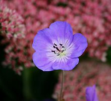 Wild Blue Flax by NewfieKeith