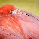Flamingo by Roma Czulowska
