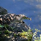 Green Heron  by NewfieKeith