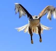 Ferruginous Hawk  by Sherry Pundt