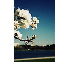 White Blossoms in Canberra Photographic Print