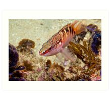 Hypoplectrodes maccullochi (Half-banded Seaperch) Art Print
