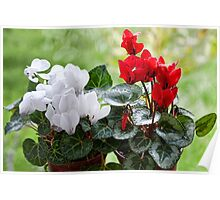 Red And White Cyclamen Poster