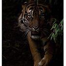 Sumatran Tiger iPhone Cover by Brad Francis