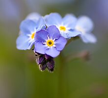Forget-me-not by Mandy Disher
