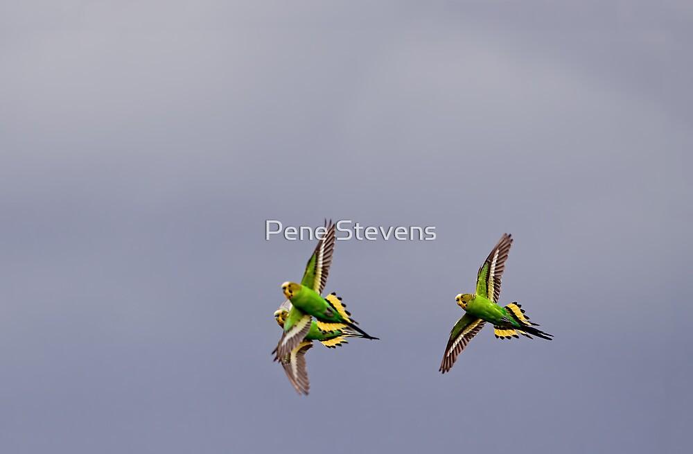 Budgies  by Pene Stevens