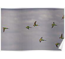 Flight of the Budgerigar  Poster