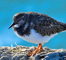 Turnstone at the harbour, Lyme Dorset UK by lynn carter