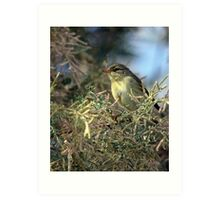 Willow warbler (Phylloscopus trochilus) Art Print