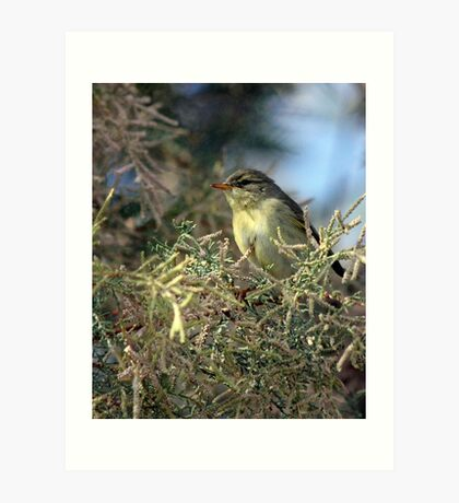 Willow warbler (Phylloscopus trochilus) Art Print