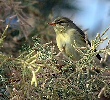 Willow warbler (Phylloscopus trochilus) by larry flewers