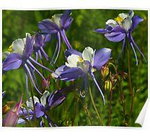 Colorado Blue Columbine Wildflowers Poster