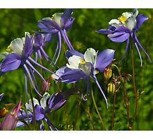 Colorado Blue Columbine Wildflowers Photographic Print