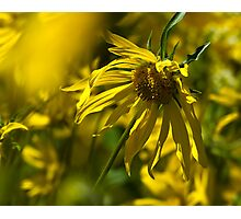 Colorado Sunflowers Photographic Print