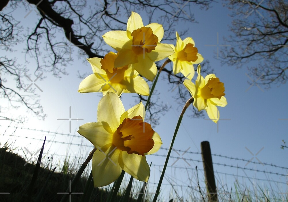 Sunrising behind the daffodils by Barrie Woodward