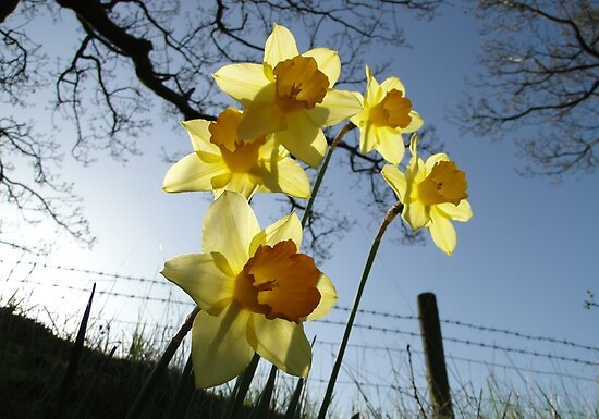 Sunrising behind the daffodils by AH64D