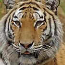 Tiger at Dartmoor Zoo by sbarnesphotos