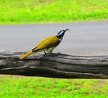 Blue-faced Honeyeater by Michael John