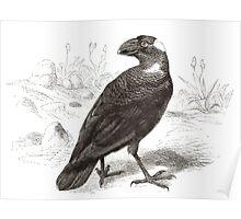 Robert Kretschmer Brehms Tierleben 22 page 430 Corvultur crassirostris Poster