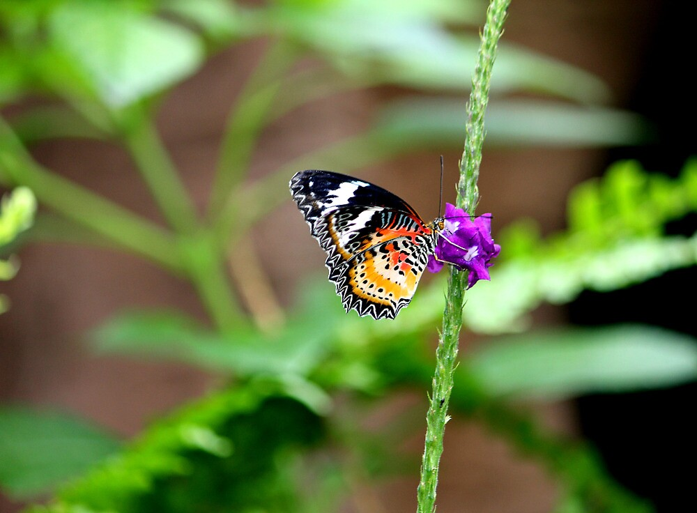Lace wing butterfly by NewfieKeith