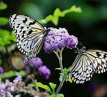 Rice Paper Butterflies  by NewfieKeith