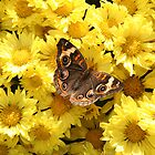 Bright Autumn - Common Buckeye 3 by WalnutHill