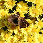 Bright Autumn - Common Buckeye 1 by WalnutHill