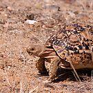 Leopard Tortoise, Kruger National Park, South Africa by Erik Schlogl