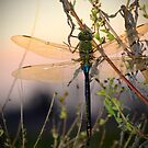 Dragonfly Sunrise1 by Charlie