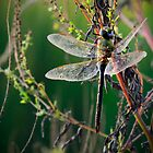 Dragonfly Sunrise 3 by Charlie