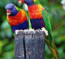 Rainbow Lorikeets by Kate Wall