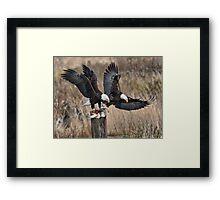 Bald Eagles with Prey Framed Print
