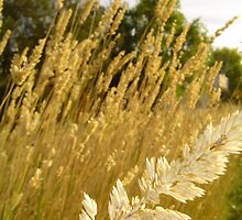 Wheat in the wind by Nadja L.L. Farghaly