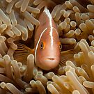 Pink Anemonefish, North Sulawesi, Indonesia  by Allan Saben