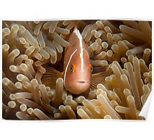 Pink Anemonefish, North Sulawesi, Indonesia  Poster