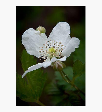 """""""Wild Blackberry Bloom"""" Photographic Print"""
