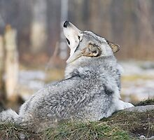 Wolf Sniffing the Air by Yannik Hay