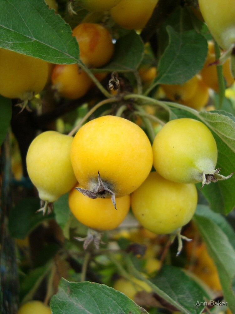Yellow Crab Apples by Ann Baker
