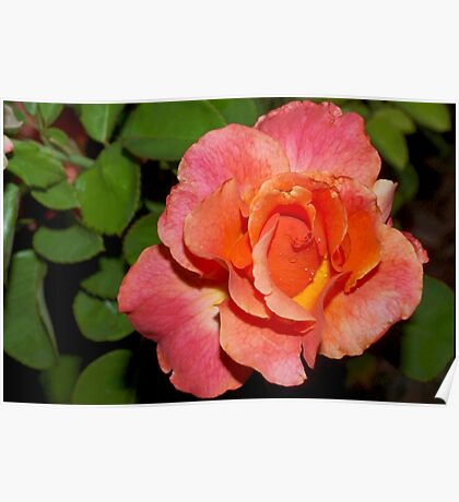 Peach and apricot rose Poster