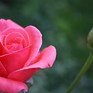 A Rose by Cherie Balowski