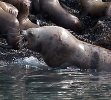 Bull Moose Sea Lion, Juneau, Alaska by creativegenious