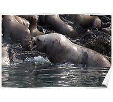 Bull Moose Sea Lion, Juneau, Alaska Poster