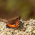 Small Tortiseshell Butterfly by Jon Lees