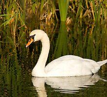 Mute Swan by Jon Lees