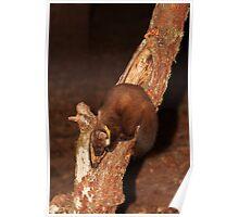 Pine Marten in Tree Trunk Poster