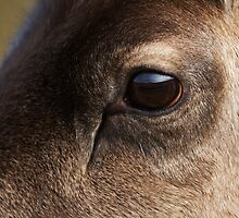 Reindeer Eye by kernuak