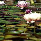 Focus on Water Lillies 2 by HeavenOnEarth