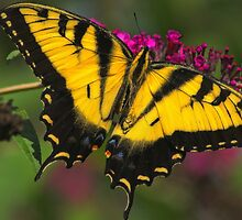 "Tiger Swallowtail ""2"" by Marcus Baker"