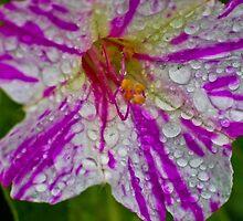 Morning Dew by nicolestamsek