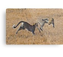 Young Female Leopards Playing Metal Print